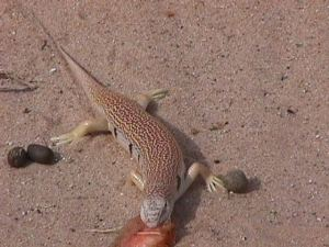 Sandfish visitor (Photo M. Alshanti)